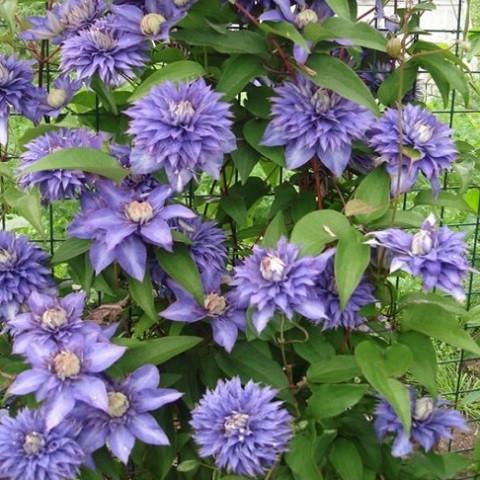 Клематис Multi Blue (Мульти Блю)