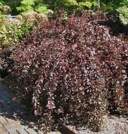 Пухироплідник калинолистий Summer Wine 2 річний, Пузыреплодник калинолистный Саммер Вaйн physocarpus opulifoli