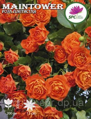 Роза плетистая Maintower, фото 2