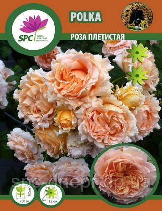 Роза плетистая Polka
