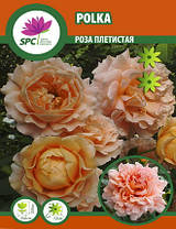 Роза плетистая Polka, фото 2