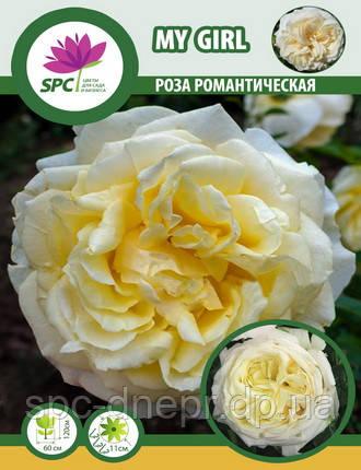 Роза романтическая My Girl