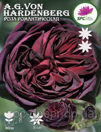 Роза романтическая Astrid Grafin von Hardenberg, фото 2