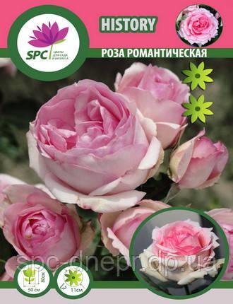 Роза романтическая History