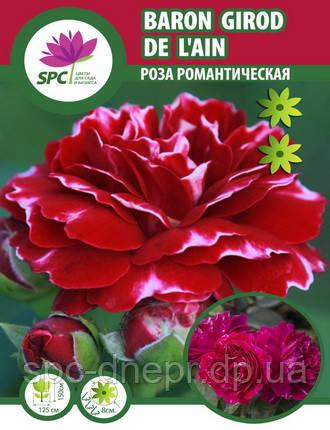 Роза романтическая Baron Girod de L'Ain, фото 2
