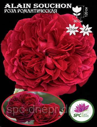 Роза романтическая Alain Souchon