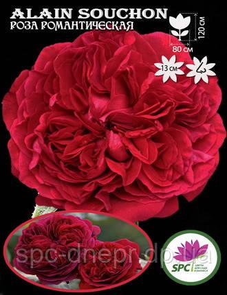 Роза романтическая Alain Souchon, фото 2