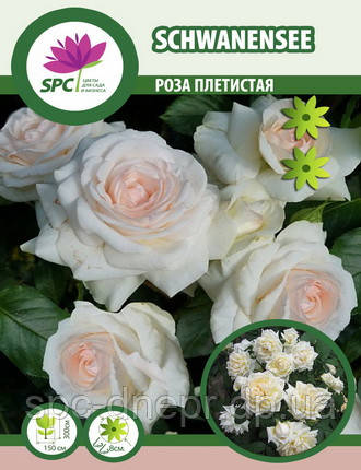 Роза плетистая Schwanensee