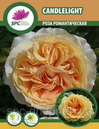 Роза романтическая Candlelight (один пагон)