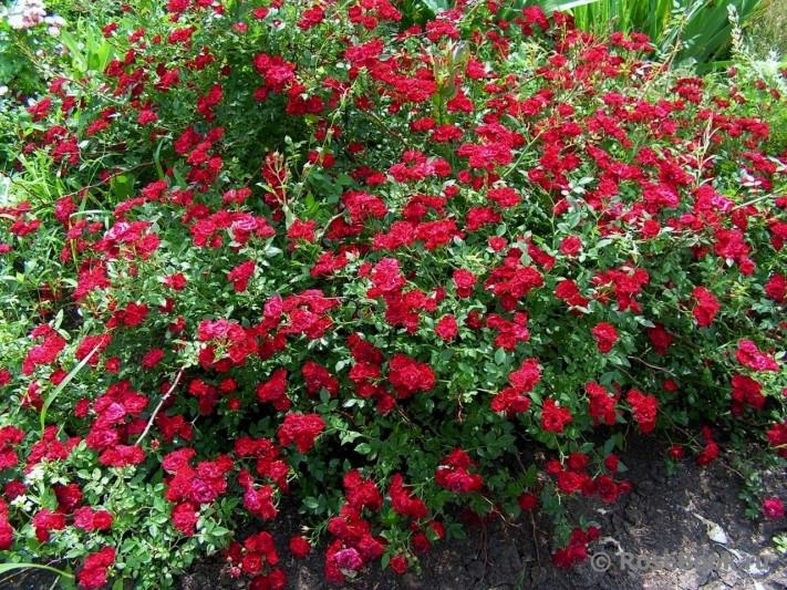 Роза Ред Вельвет (Red Velvet / Red Cascade)' Почвопокровная