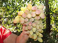 Саженцы винограда Преображение(очень ранний)