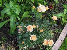 Роза Свит Дрим (Sweet Dream) патио, фото 2