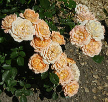 Роза Свит Дрим (Sweet Dream) патио, фото 3