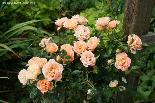 Роза Свит Дрим (Sweet Dream) патио