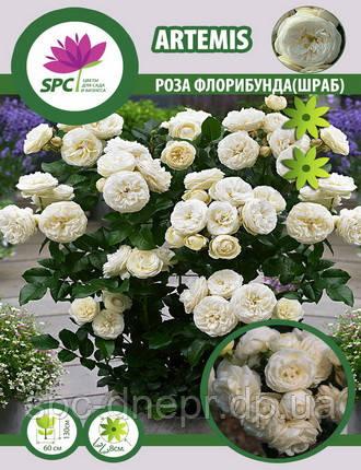 Роза романтическая(шраб) Artemis, фото 2