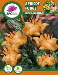 Лилия азиатская махровая Apricot Fudge