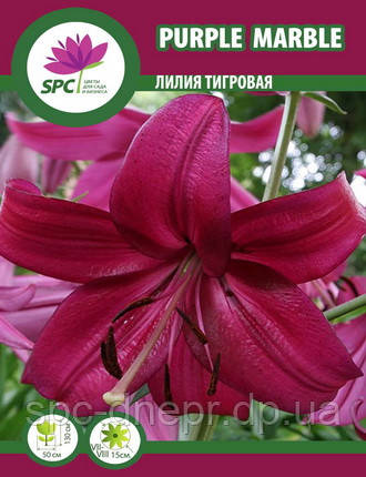 Лилия тигровая Purple Mable