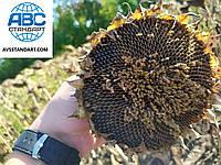 Семена подсолнечника ДОЗОР 100-105 дней. Засухоустойчивый гибрид для Юга Украины. Экстра., фото 1