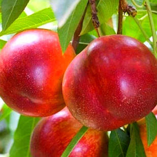 Саженцы Нектарина Инкрочио Пьери - средне-поздний, крупноплодный, зимостойкий