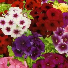 Семена Флокс крупноцветковый смесь 0,2 г W.Legutko 5167