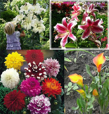 Цибулини і бульби квітів дрібним оптом