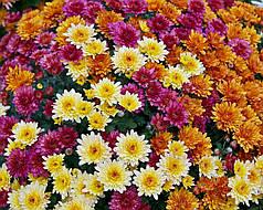 Семена Хризантема Фанфары смесь 0,1 г W.Legutko 5170