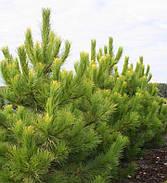 Pinus nigra Goldfinger
