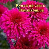 Хризантема СЛАВЯНСКИЙ БАЗАР