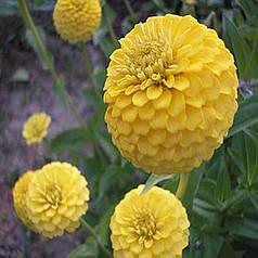 Семена Цинния Лилипутэк желтая низкорослая бордюрная 0,2 г W.Legutko 5177