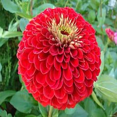 Семена Цинния Лилипутэк красная низкорослая бордюрная 0,2 г W.Legutko 5178