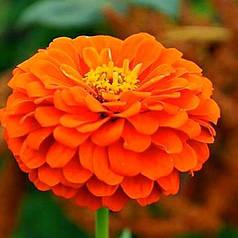 Семена Цинния Лилипутэк оранжевая низкорослая бордюрная 0,2 г W.Legutko 5179