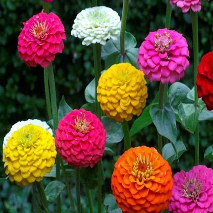 Семена Цинния Солнечные ребята смесь 0,5 г W.Legutko 5182, фото 2