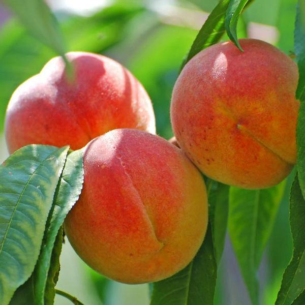 Саженцы Персика Золотая Москва - средний, промышленный, высокоурожайный