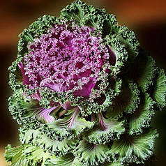 Семена Капуста декоративная  50 сем W.Legutko 5186