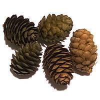 Шишки модрини (лиственницы) натуральні Прямі
