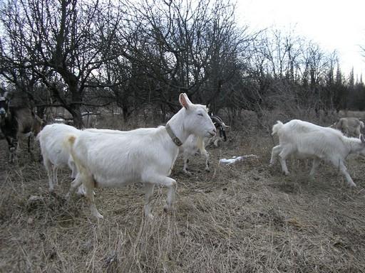 Козье молоко целебней во много раз, если коза пасется много!