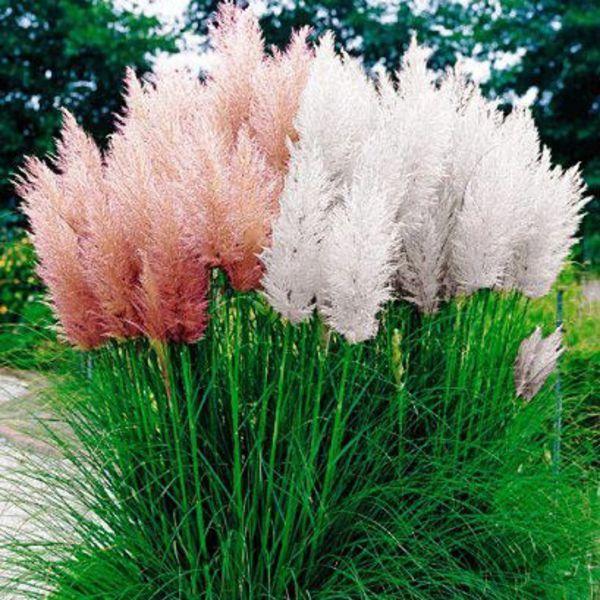 Семена Пампасная трава смесь  0,02 г W.Legutko 5991