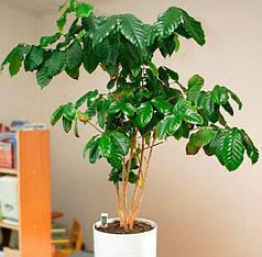 Семена Кофейное дерево 5 сем W.Legutko 5201