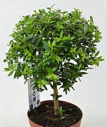 Семена Мирт обыкновенный 20 сем W.Legutko 5202