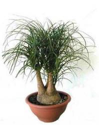 Семена Нолина  отогнутая (Бокарнея) 5 сем W.Legutko 5203