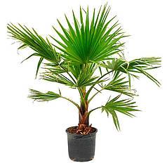 Семена Пальма Вашингтония нитеносная 5 сем W.Legutko 5204