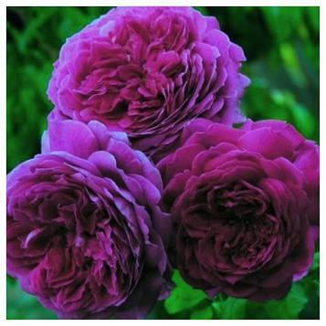 Роза Self-Sufficing
