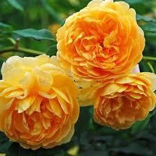 Роза English Gold
