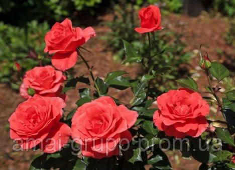 Как правильно черенковать розу