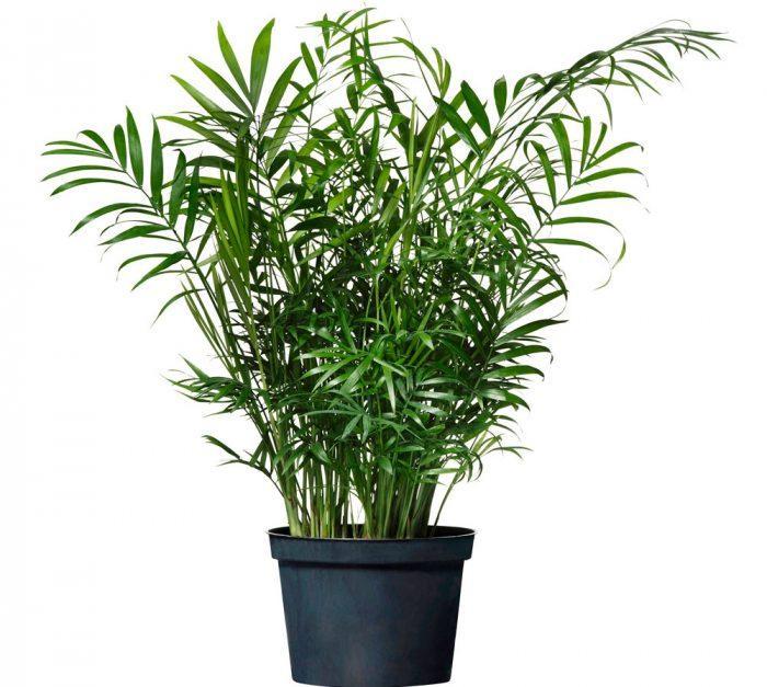Семена Пальма Хамедорея изящная 5 сем W.Legutko 5206