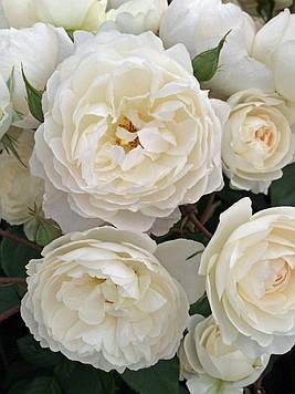 Роза White English