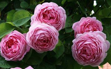 Роза Constance spry
