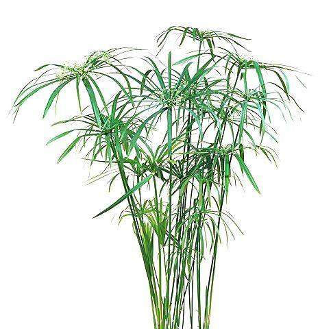 Семена Циперус 50 сем W.Legutko 5908