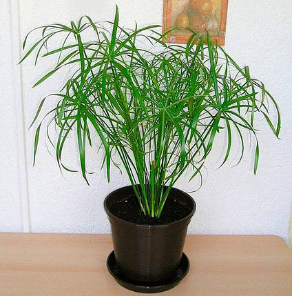 Семена Циперус 50 сем W.Legutko 5908, фото 2