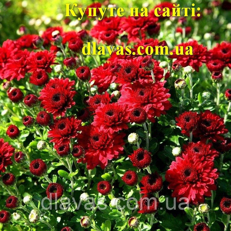 Хрізантема куляста  ТЕМНО-ЧЕРВОНА (Andaz Ред)